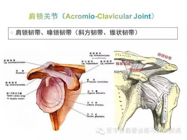 解剖结构+mr表现,肩关节的这些备注你还不清楚吗?