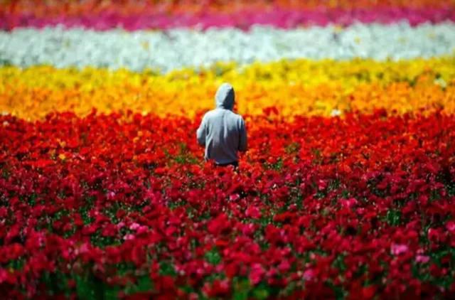 花的世界,是美的海洋,我们不用在乎一都朵花可以开多久 卡尔斯班是一座人口不到八万的幽静小城,地处洛杉矶与圣地牙哥之间。因为南加州的气候得天独厚,受惠于常年的温暖日照,一旦春回大地,万物迅速更新,一时间无处不飞花。 满地铺满的话,我仿佛来到另外的世界,我的身体和心灵深陷了,也许那个时候我也不知道这究竟是哪里。 伴随轻快柔和的音乐声,轻移着步子踏入漫山遍野的花田,满眼所见尽是怒放的鲜花,玫瑰红、桔橙、鹅黄、艳紫、粉红以及纯白色。我怕自己不舍离去。 隐藏在心中:阿姆斯特丹雏菊花海