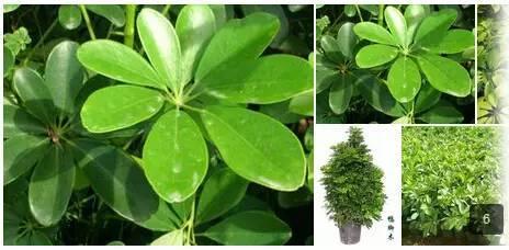 榕树类还包括了:垂叶榕,雅榕(小叶榕),金钱榕,印度橡胶榕,黄金榕图片