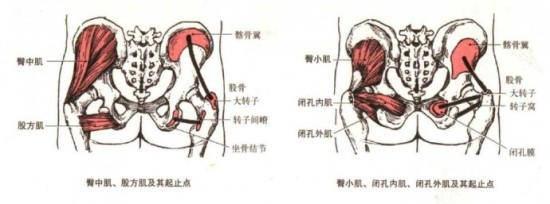 """我们将臀大肌的解剖结构简化,将得到两根""""肌拉力线"""",如下图,这两根肌"""