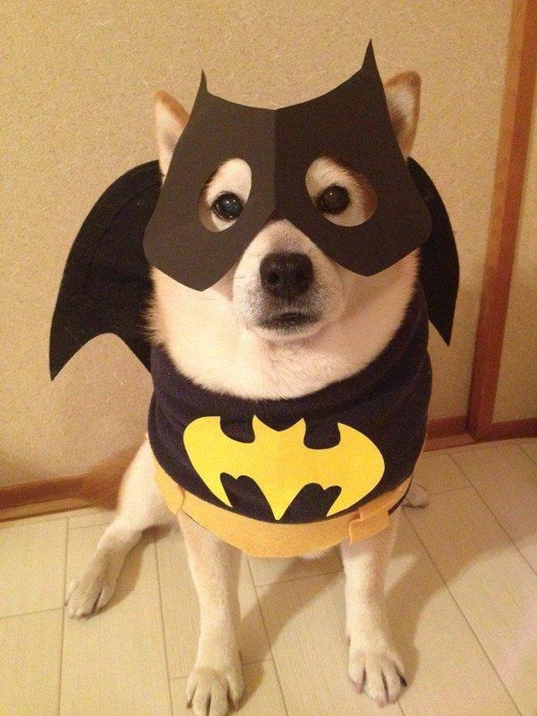 23,蝙蝠犬!图片