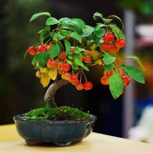 关注微信公众号:花卉与盆栽,微信号:huahuipz 盆景植物小      声明
