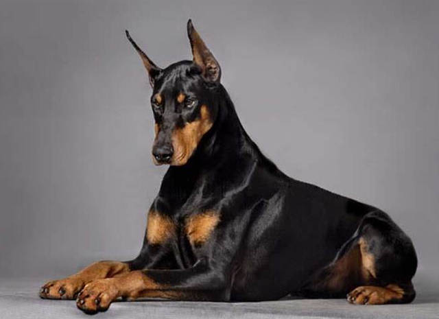 杜宾犬介绍_杜宾 马犬_罗威纳犬 杜宾