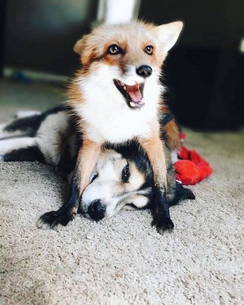 狗跟狐狸杂交_这只狐狸跟狗的关系已升华为爱情,让人了解真爱是