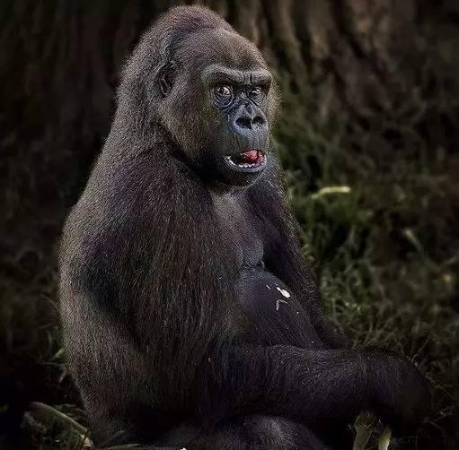 黑猩猩简直就是表情帝!图片