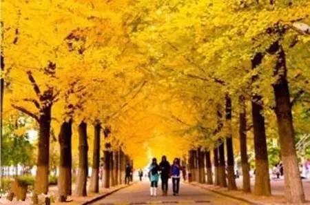 可以在银树树枝上嫁接银杏树根吗_仿真芭蕉树_仿真银杏树