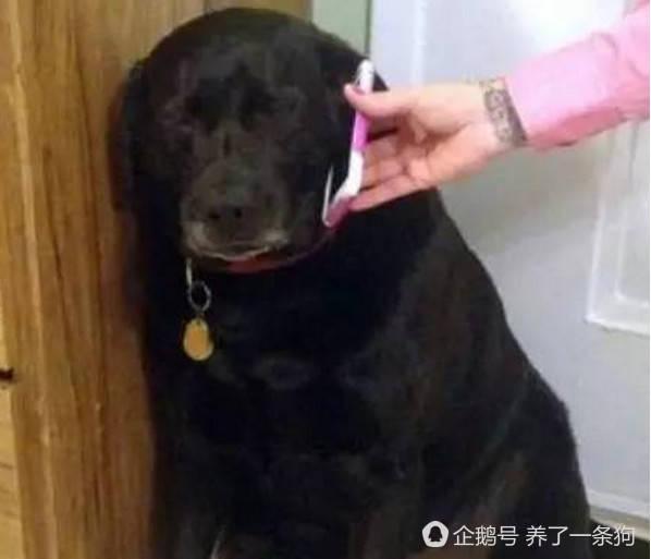 大黑狗不听话,接主人的电话后,这表情看一次笑一图片