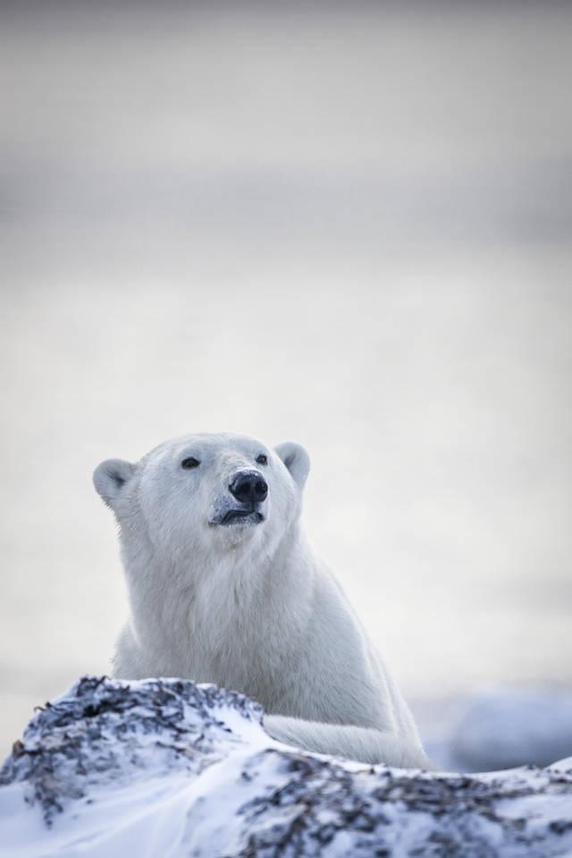 加拿大北极熊完全探秘鸽子母手册会追公鸽子么图片