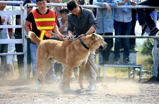 最古老的的獒犬之一,勇猛无畏的中亚牧羊犬