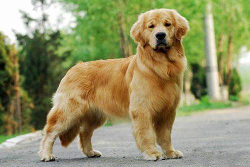 最聪明的狗排名_小型犬最聪明的狗排名