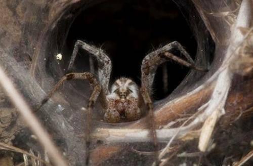 世界十大美丽又最毒蜘蛛一类产自中国 一类最