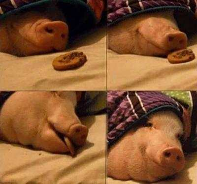 搞笑图集: 一只猪的星期天早晨是怎样吃饭的