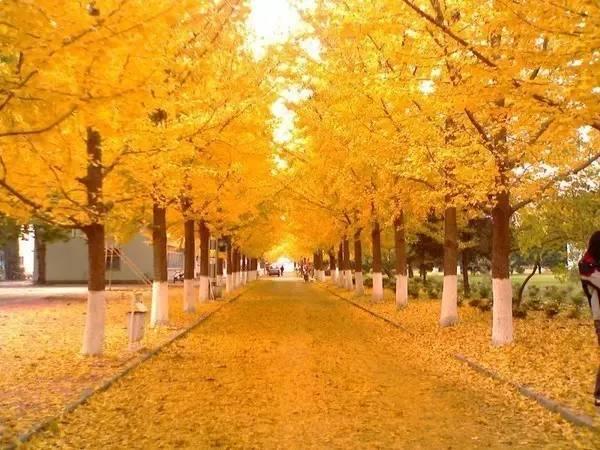 金黄的银杏装扮出绚烂秋天, 秀丽的绿江村打造出无限春光, 青山为屏图片