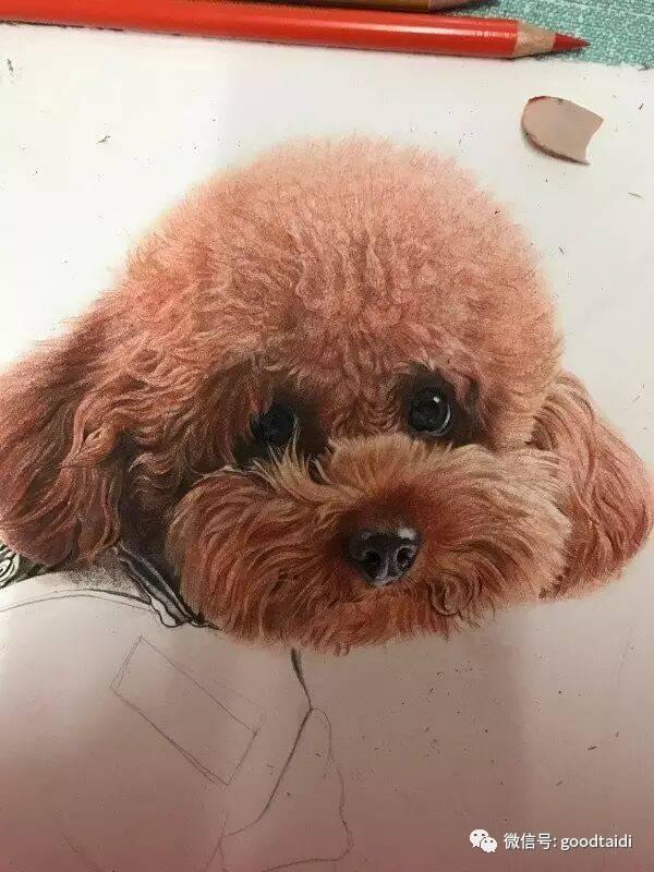 膜拜一下 彩铅手绘泰迪犬,真可爱