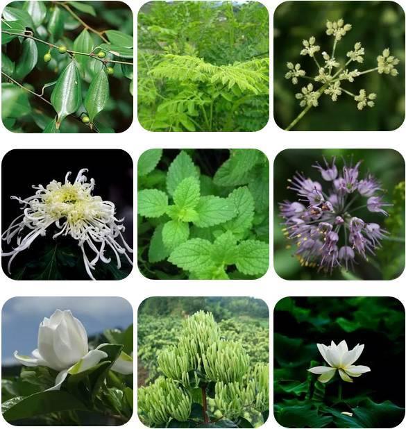 乌药叶,辣木叶,白芷,菊花,薄荷,薤白,栀子,金银花,荷香,9种纯天然图片