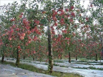 果树修剪 冬季苹果树的修剪方法