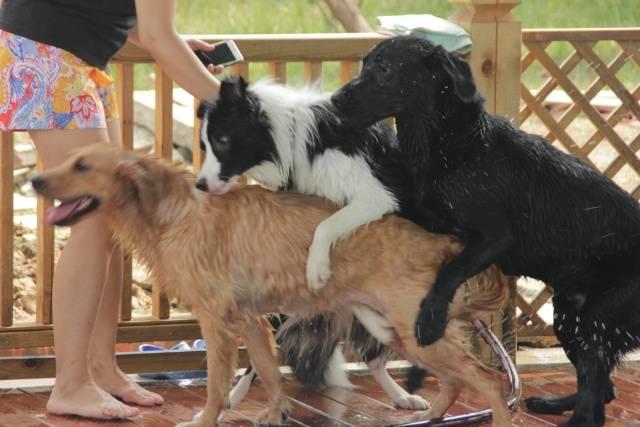 """把一只叫""""阎王""""的美国恶霸犬,训练得无比顺从!图片"""
