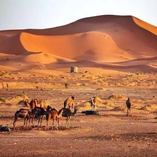 跟着驼队,漫游于黄金沙漠图片