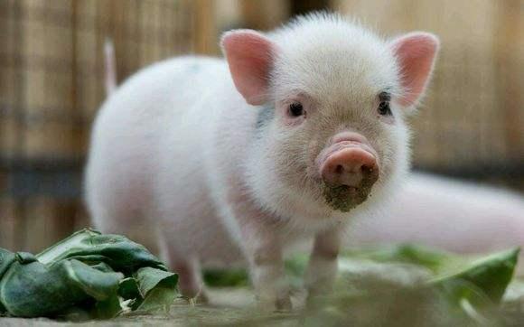 梦见猪吃注意什么