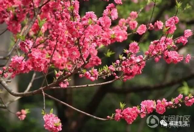 最美桃花季来啦!福建各地观赏攻略大集合,万花具备只欠迈腿