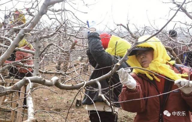 苹果树刻芽不简单,注意事项您细看