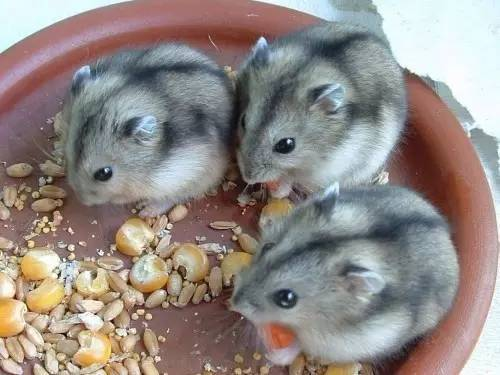 超多品种的仓鼠一篇给你讲