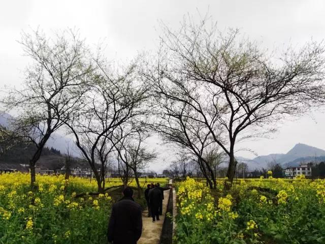 泔溪油菜花,为艳绝江南的春天写生
