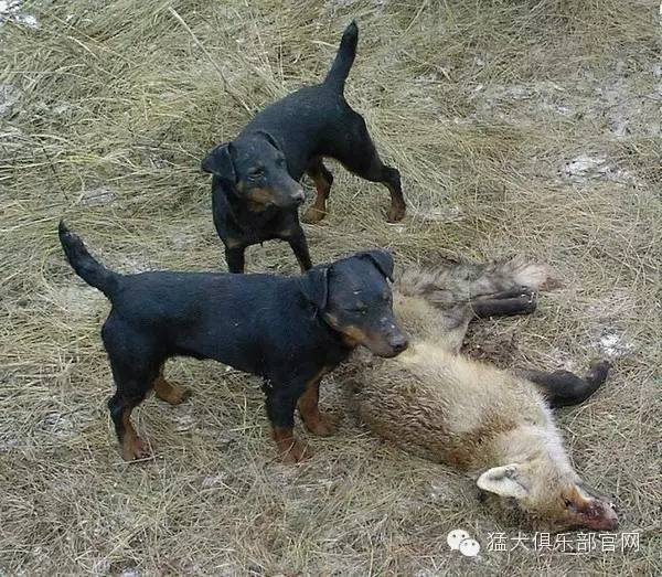 优秀的猎手——德国猎梗