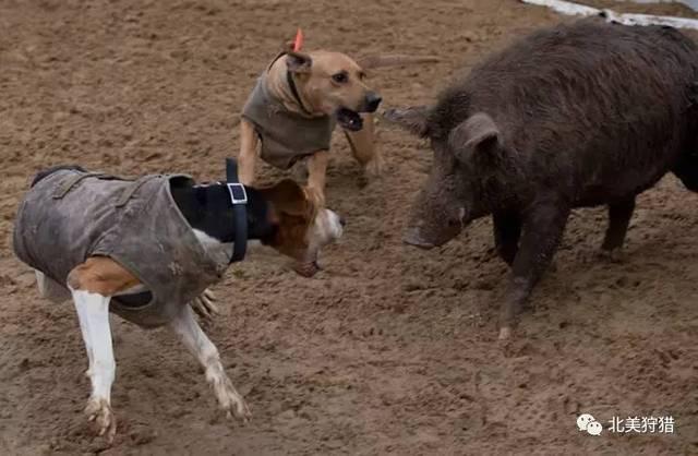 用于猎野猪的狗,一般会分成两组.