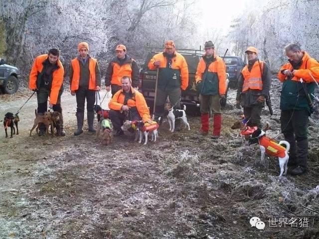 很少见的短毛猎狐梗也是小型猎犬始祖出现在小型狩猎犬的梗犬队伍中