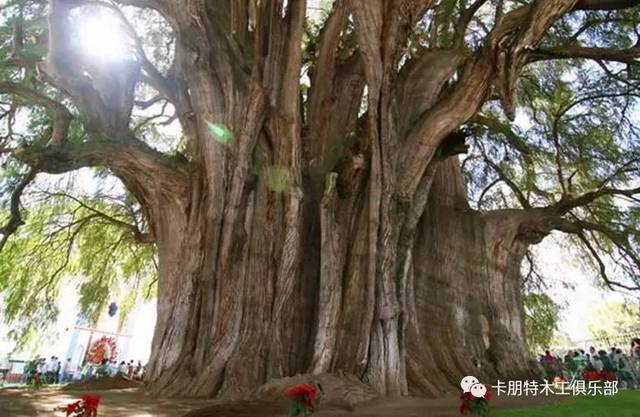全球最著名的16棵古树,中国仅一棵入选