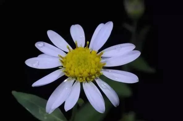 图:wiki commons 马兰和蒲公英( taraxacum mongolicum)一样同属菊科