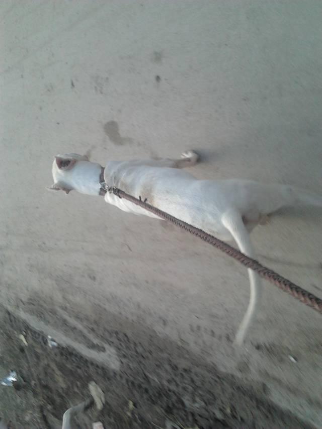 杜高犬打猎野猪视频