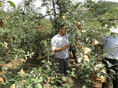 苹果树夏季修剪,要做到这5点