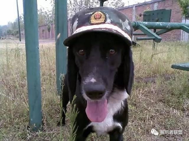 军犬哭囹�a��(�-c_入伍13年军犬去世,战友们举行了一场特殊葬礼:筑坟头,鸣13枪,训犬员哭