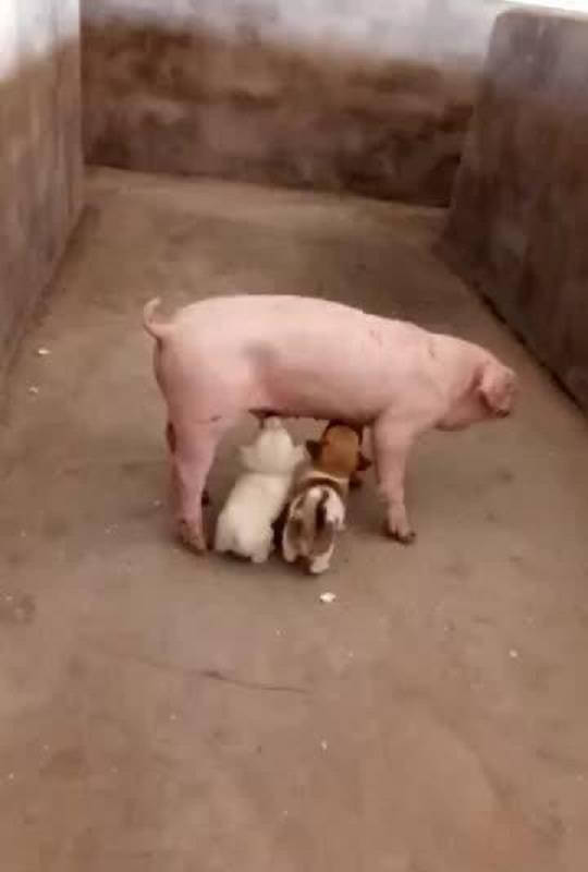 小猪吃人奶视频_动物界的奇葩不比人少,爆笑事件一幕一幕