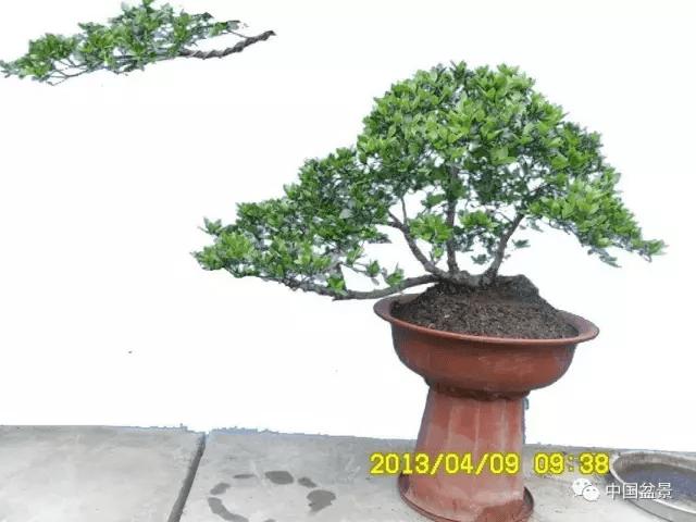 树桩盆景飘枝制作大有讲究图片