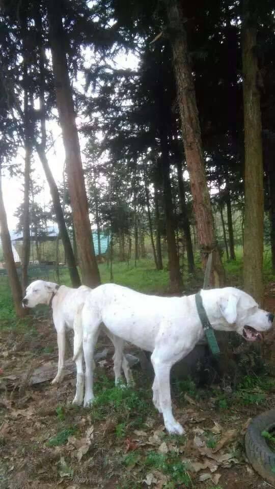杜高犬打野猪猎犬广西杜高犬价格