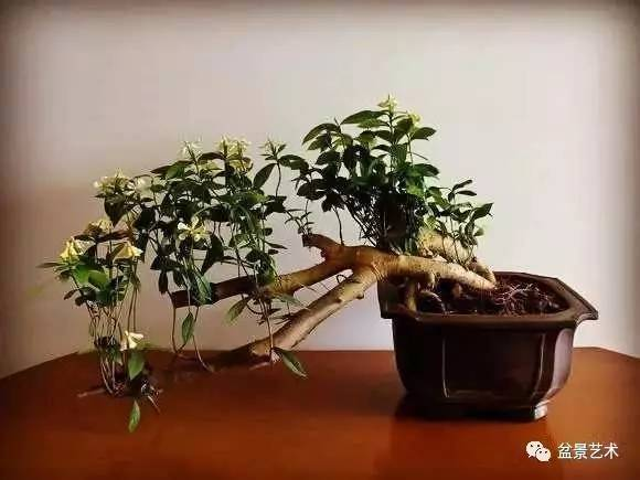【盆景艺术】悬崖式盆景在制作上要注意的问题图片