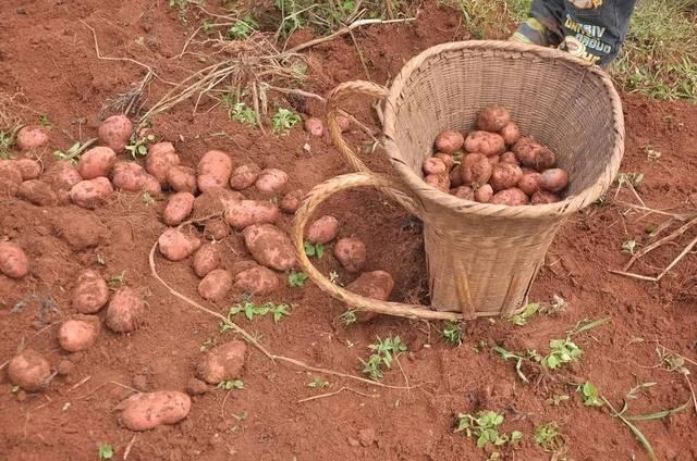云南有哪些贫困山区_爱有千万种味道,尝尝这种高原土豆甜,给贫困山区孩子多份爱的加餐