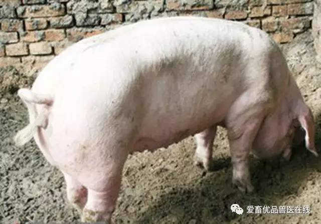 造成猪只异食癖