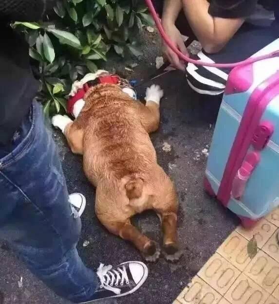 刚出生的小狗怕热吗_狗狗都怕热,因为它们的皮肤不排汗,主要靠舌头和四个脚垫排汗降温,加