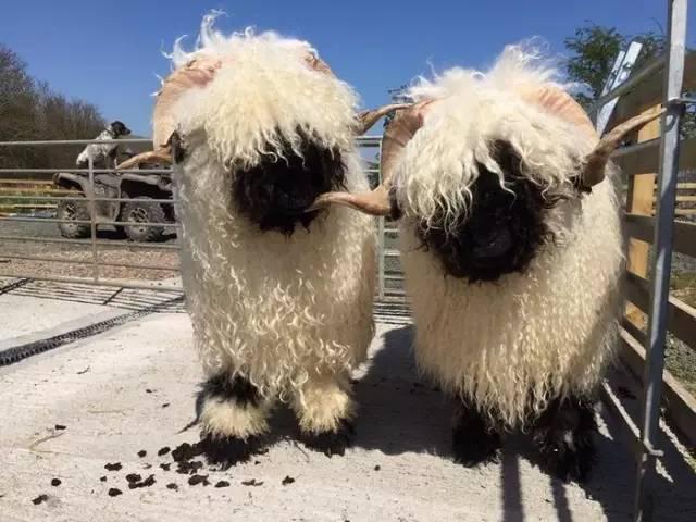 瑞士瓦莱黑鼻羊真是一种呆萌的存在