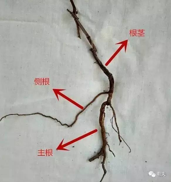 毛茛幼根横切面手绘图