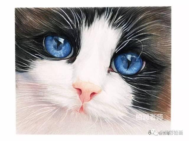 喵星人中的贵族,蓝眼睛布偶猫图片