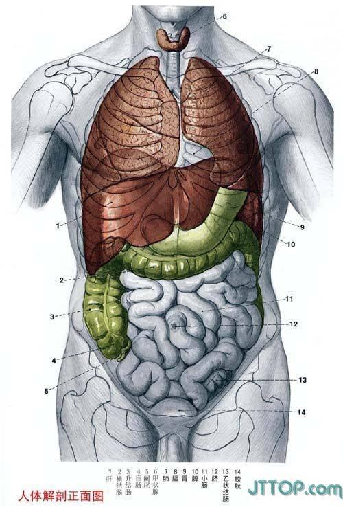 人体的肚子内部结构�_了解我们自己~~ 人体结构解剖图
