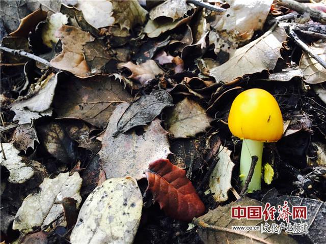 8月份的林芝,正是蘑菇生长的最好时节,枯枝碎叶中,刚刚长出头的蘑菇图片