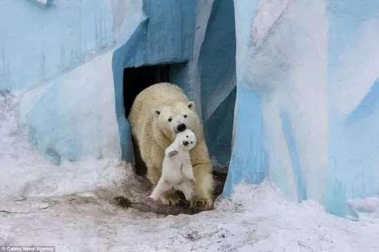 动物世界的猴子呆-北极熊寻仙战象和天然图片