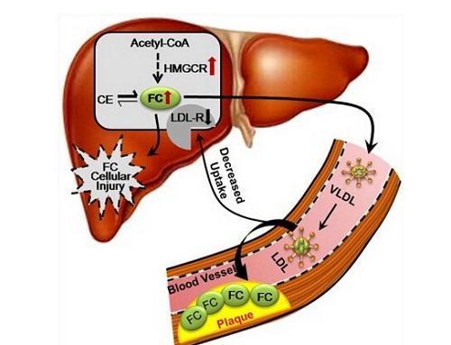 部脂肪_无论男女,腹部脂肪细胞对儿茶酚胺促进脂解的 反应性和敏感性均强于股