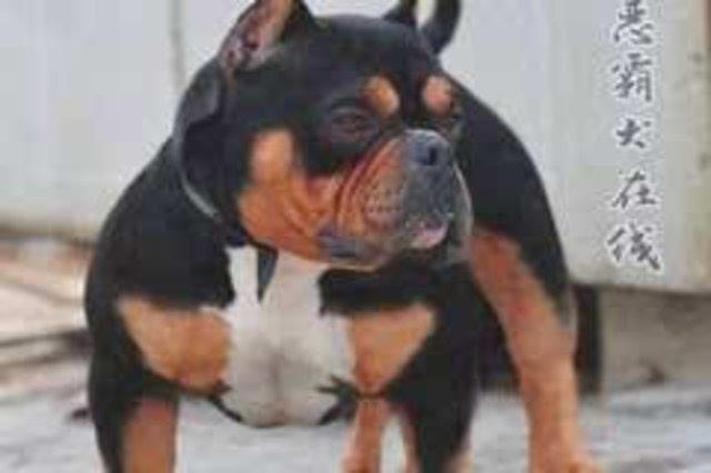 """【宠物频道恶霸在线】美国冠军恶霸犬实力种公""""枪口""""图片"""